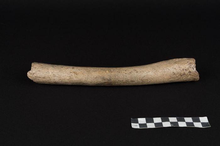 Ce fémur, qui montre des signes de mastication par un grand carnivore, fournit des données mitochondriques, qu'il appartient à un Neanderthal - Crédit : Oleg Kuchar © Photo Museum Ulm