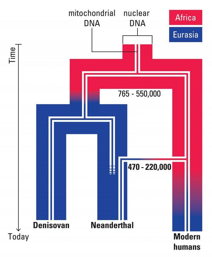 Une représentation de l'hypothèse évolutive pour l'ADN nucléaire et mitochondrique dans les humains modernes et archaiques. L'ADN mitochondrique de Neanderthal analysé dans cette étuge suggère une migration intermédiaire hors de l'Afrique il y a 220 000 ans - Crédit : Annette Günzel, © Max Planck Institute for the Science of Human History