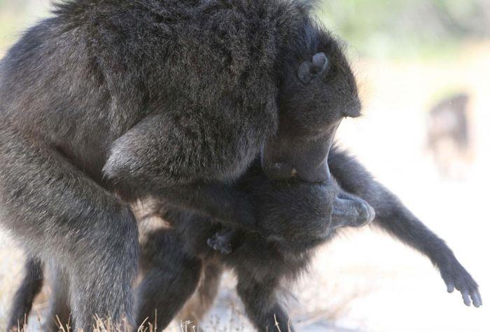 Un babouin mâle qui attaque une femelle - Crédit : Alecia Carter