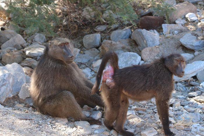 Une babouin femelle qui se présente à un mâle pour une sollicitation sexuelle - Crédit : Alice Baniel