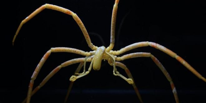 Araignées de mer : Des intestins pour transporter l'oxygène plutôt que le coeur