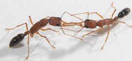 Décoder les odeurs des fourmis