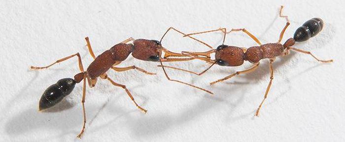 d coder et comprendre les odeurs des fourmis. Black Bedroom Furniture Sets. Home Design Ideas