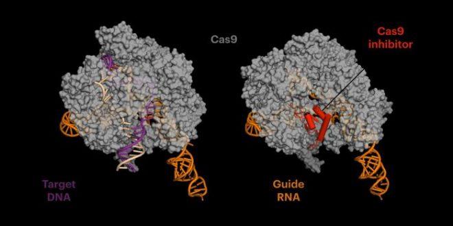 Des protéines anti-CRISPR réduisent les mutations hors cibles