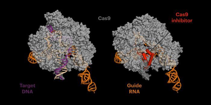 La protéine anti-CRISPR (rouge sur la droite) imite l'ADN et se connecte sur le site où l'enzyme de coupe Cas9 s'attaque sur l'ADN cible (sur la gauche) avant la coupe. Mais la protéine anti-CRISPR empêche Cas9 de faire des coupes répétitives pour éviter des mutations - Crédit : Fuguo Jiang, UC Berkeley