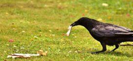 Les corbeaux peuvent planifier comme les grands singes et les humains