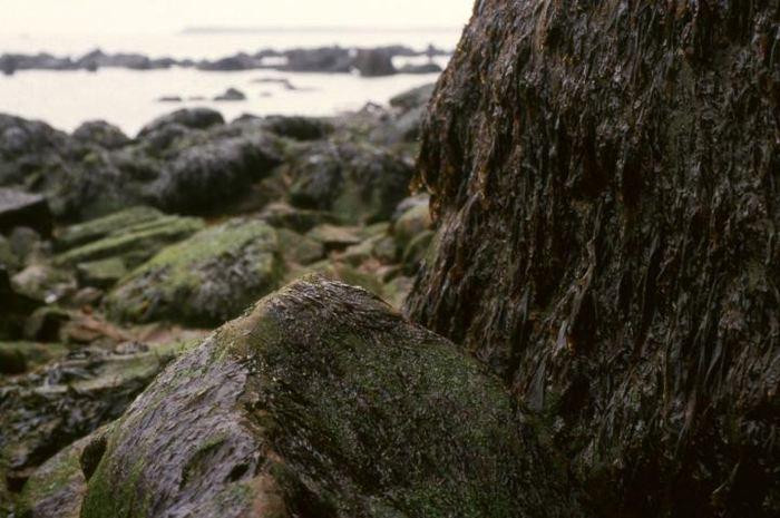 Une analyse du génome des algues rouges connues comme la Porphyra montre qu'elles ont évolué pendant des millions d'années pour s'adapter à des conditions extrêmes.