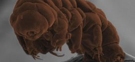 Le génome des Tardigrades révèle quelques mystères
