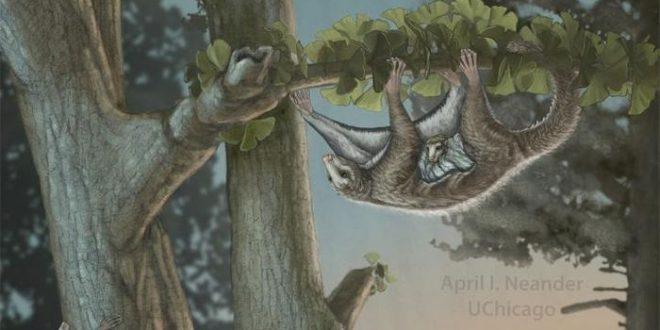 Découverte des premiers mammifères ailés du Jurassique