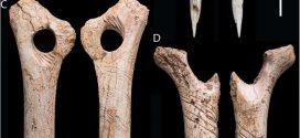 Des os gravés faisant partie d'un rituel cannibale