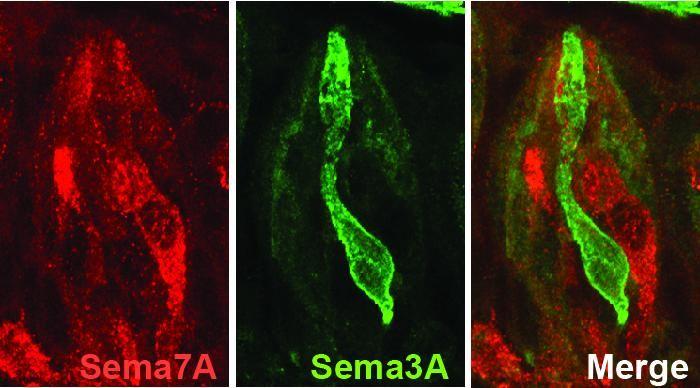 Dans les cellules des papilles gustatives de la souris, la protéine Sémaphorine 3A (en vert) permet au récepteur du gout amer d'attirer la bonne connexion neuronale. La protéine Sémaphorine 7A (en rouge) concerne les cellules du gout sucré - Crédit : Lee et al./Nature 2017