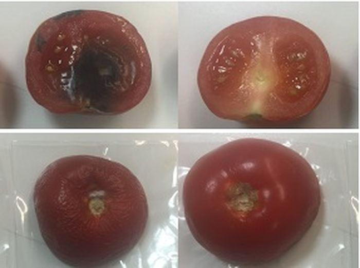 Les tomates de contrôle (sur la gauche) ont pourri après 6 jours tandis celles enveloppées dans l'emballage d'argile (sur la droite) sont resté fraiches - Hayriye Ünal