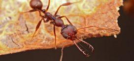 Ces fourmis peuvent fermer leurs mandibules à une vitesse de 80 km/h