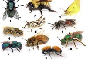 Si vous pensez que protéger les abeilles revient à protéger les pollinisateurs, alors c'est comme si vous disiez que vous allez protéger les poulets pour sauver toutes les espèces d'oiseaux. Le manque de connaissance du public concernant les abeilles et les pollinisateurs peut poser d'énormes problèmes sur les efforts réels de protection de la biodiversité.