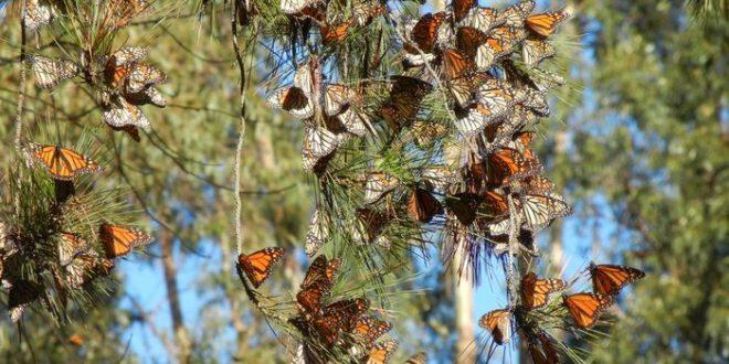 Les papillons monarques disparaissent de l'ouest de l'Amérique du Nord