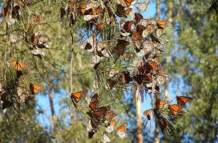 On connait le problème du déclin des papillons monarques dans l'est de l'Amérique du Nord. Mais une étude estime désormais que les papillons monarques dans l'ouest de l'Amérique du Nord subissent un déclin bien plus rapide à cause de la perte de l'habitat et des tendances de fond du changement climatique. Dans leur scénario le plus pessimiste, les chercheurs estiment que les papillons monarques dans cette région risque de disparaitre dans une période de 35 ans.