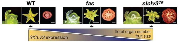 En utilisant CRISPR pour créer différents ensembles de mutation dans un promoteur de gène appelé SICLV3 (et dans d'autres promoteurs), les chercheurs ont pu varier le nombre d'organes floraux et des locules (Le compartiment gélatineux des graines) dans une tomate. Cela permet d'ajuster les traits principaux d'une plante pour avoir le rendement désiré - Crédit : Lippman lab, CSHL