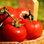 En utilisant la tomate comme exemple, des chercheurs proposent une preuve à l'appui de la technologie CRISPR pour stimuler les rendements agricoles sur 3 principaux traits qui sont la taille, l'architecture de ramification et la forme de la plante.