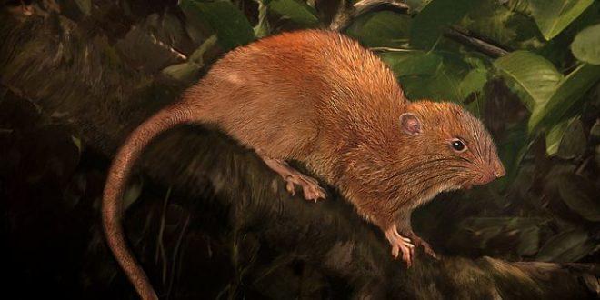 Uromys vika, un rat géant dans les îles Salomon
