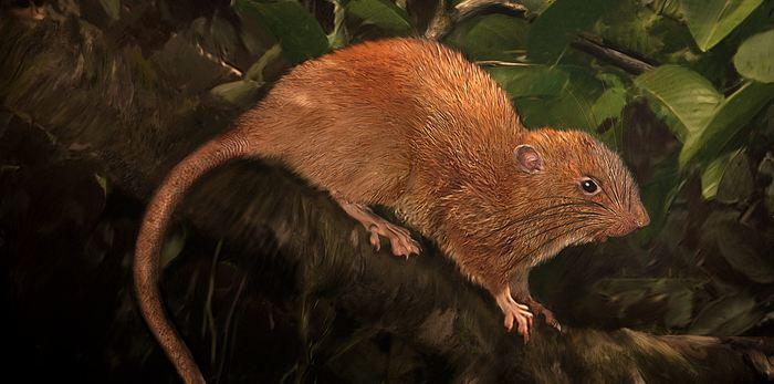 Une illustration d'artiste de ce rat géant Uromys vika - Crédit : Velizar Simeonovski, The Field Museum