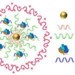 CRISPR-Gold est composé de nanoparticles d'or de 15 nanomètres qui sont combiné dans de l'ADN Thiol. Ensuite, on les hybride avec un seul brin d'ADN donneur, modifiés avec Cas9 et encapsulé par un polymère qui perturbe l'endosome de la cellule - Crédit : Murthy/Conboy/Nature Biomedical Engineering