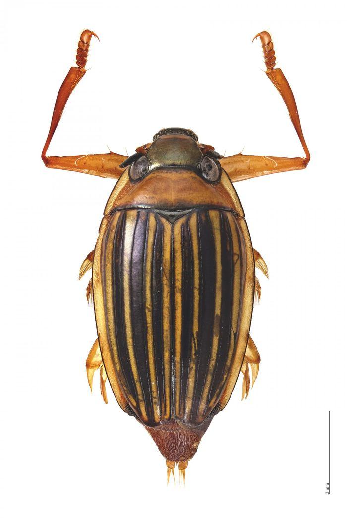 Le scarabée Heterogyrus milloti qu'on trouve uniquement à Madagascar et dont la lignée remonte à plus de 260 millions d'années - Crédit : KU News Service
