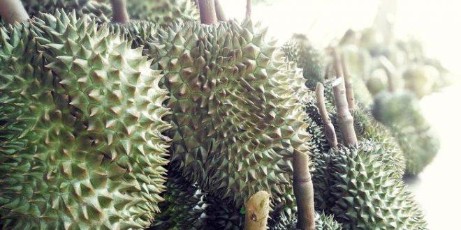 Analyse du génome du fruit de Durian