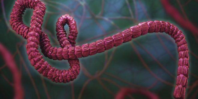 2 vaccins expérimentaux prometteurs contre Ebola