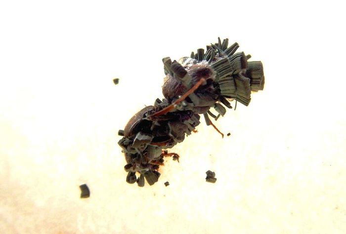 Une reine de fourmis qui est morte à cause d'une infection fongique - Crédit : Christopher Pull
