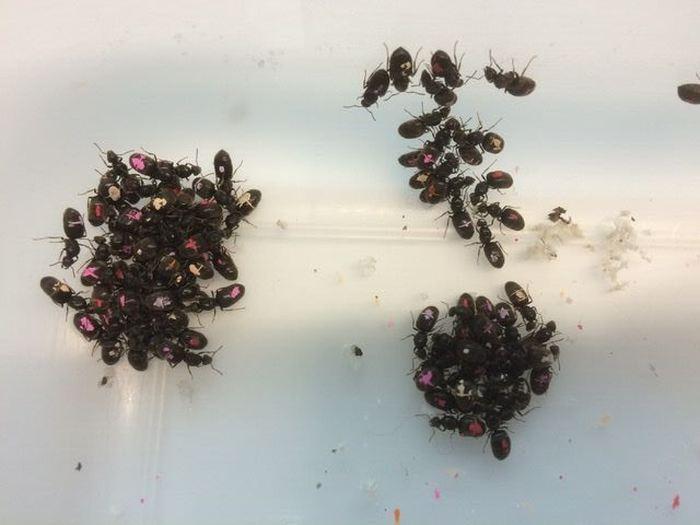 Des nouvelles reines collectées après le vol d'accouplement qu'on a ensuite peint pour les identifier dans l'expérience - Crédit : Chrisopher Pull