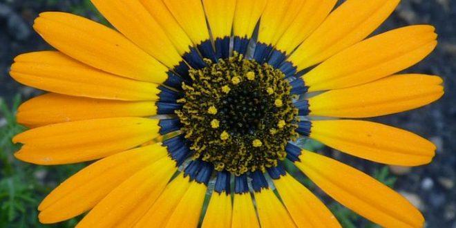 """Un """"halo bleu"""" dans les pétales de fleur pour attirer les pollinisateurs"""