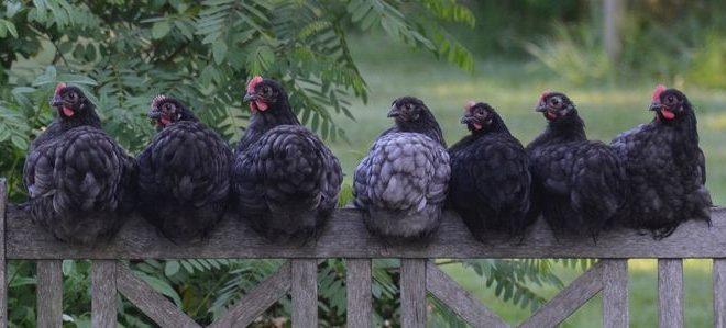 Le virus de la grippe aviaire H7N9 est mortel et transmissible dans des modèles d'animaux