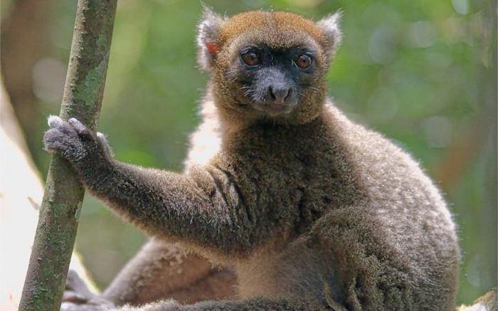 Une espèce de lémurien, connue comme le Hapalémur, se nourrit exclusivement d'une espèce de bambou. Mais les chercheurs suggèrent que le changement climatique va augmenter la période de la saison sèche en réduisant ainsi leur seule source d'alimentation.