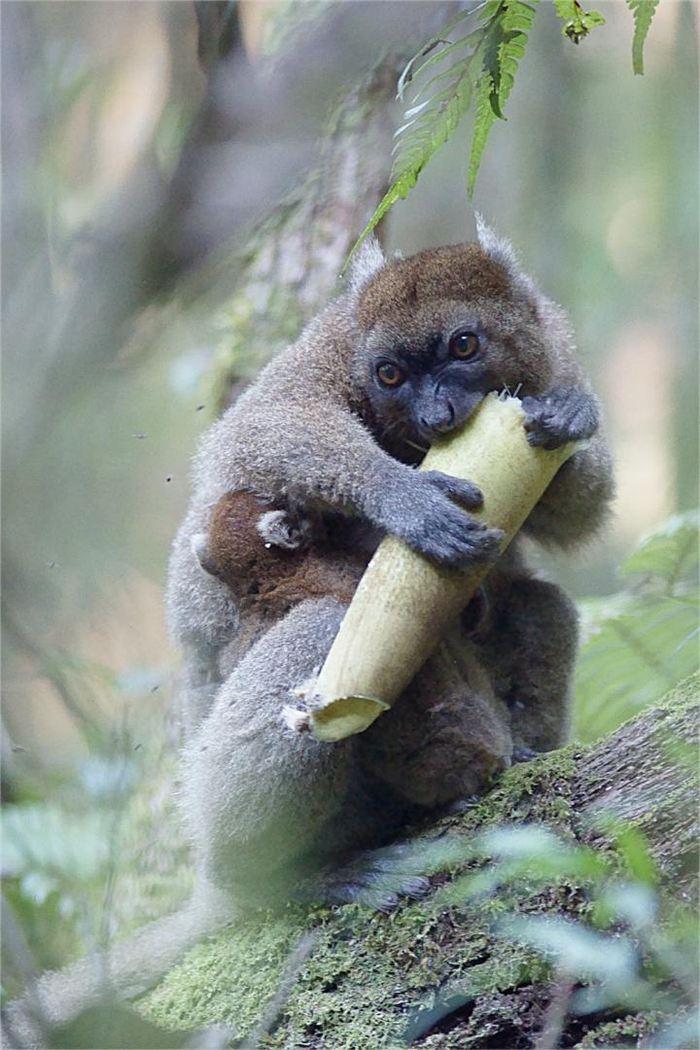 Dans cette image, le Hapalémur mange une tige de bambou qui est beaucoup plus dure. Il le fait uniquement quand il n'a pas le choix pendant la période sèche, car il préfère les pousses de bambou plus tendre - Crédit : Jukka Jernvall