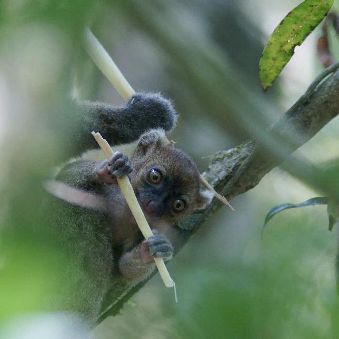 Le petit d'un Hapalémur - Crédit : Jukka Jernvall