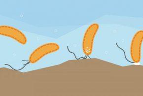 En utilisant la bactérie Caulobacter comme modèle, les chercheurs rapportent que les bactéries ont une sorte de sens de toucher qui leur permet de détecter une surface et de déclencher la production d'une colle leur permettant d'adhérer à cette surface en quelques secondes.