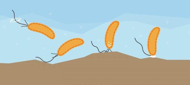 Découverte d'un sens du toucher chez les bactéries