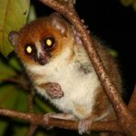 Un Microcebus, une espèce de lémurien - George Selley