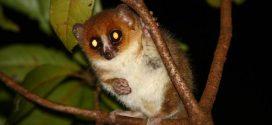 Les lémuriens sont étranges à cause des fruits à Madagascar