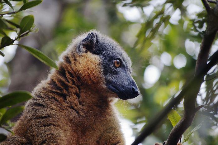 Le Lémur fauve - Crédit : Marco Campera