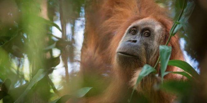 Indonésie : une nouvelle espèce rare d'orang-outan découverte