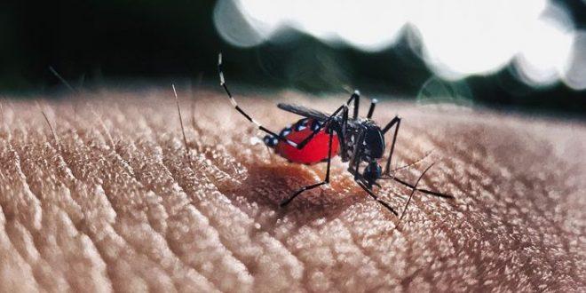 Des pistes pour améliorer le niveau d'anticorps pour combattre la Dengue