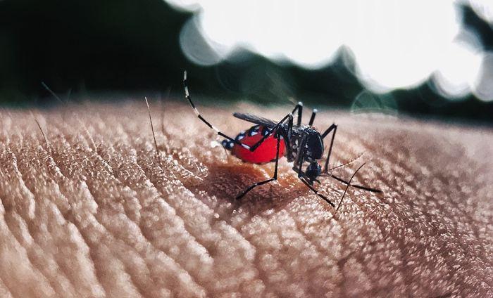 Une étude apporte des pistes sur les niveaux d'anticorps nécessaire pour éviter une rechute de la Dengue et empêcher les cas les plus graves de la maladie pour les futurs vaccins contre la Dengue.