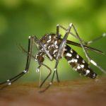 Les chercheurs rapportent que le moustique tigre, qui a débarqué en Amérique du Nord et en Europe, pourrait devenir un vecteur potentiel du virus Zika sous certaines conditions.