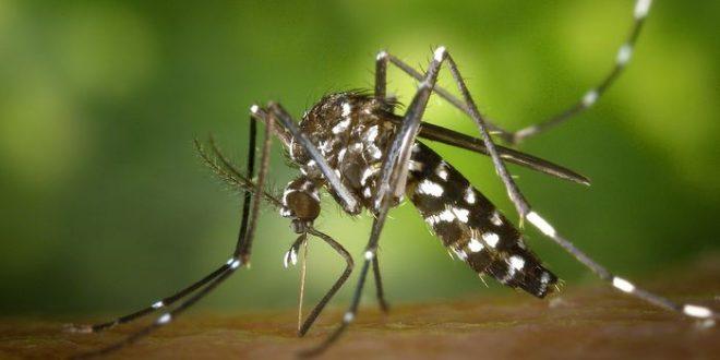 Le moustique tigre comme un propagateur de Zika sous certaines conditions