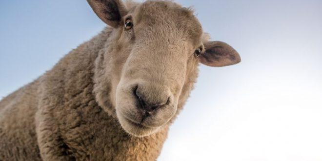 Les moutons peuvent reconnaitre des visages humains dans les images