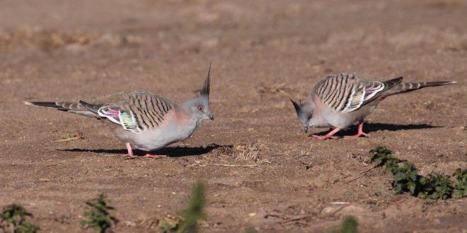 Le pigeon à crête produit un signal acoustique avec ses ailes