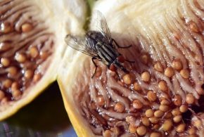 Une étude a analysé le cerveau de la mouche à fruits afin de déterminer comment elle reconnait des odeurs. La méthode qu'elle utilise est supérieure, sous certaines conditions, à notre recherche de similarité qui est la principale méthode utilisée par les moteurs de recherche.