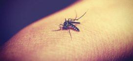L'immunité contre la dengue peut protéger contre Zika