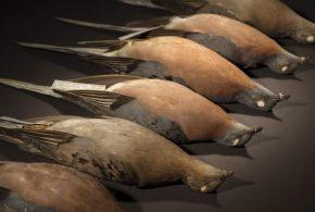 Des pigeons migrateurs provenant du Denver Museum of Nature & Science - Crédit : Rene O'Connell
